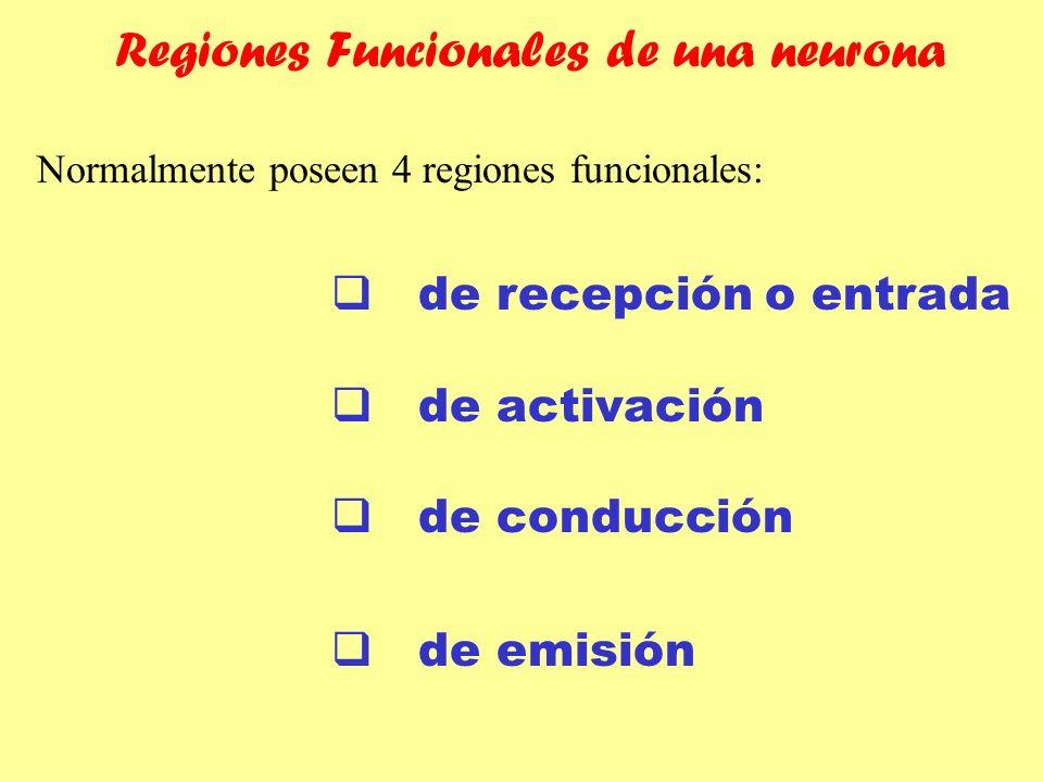Regiones Funcionales de una neurona