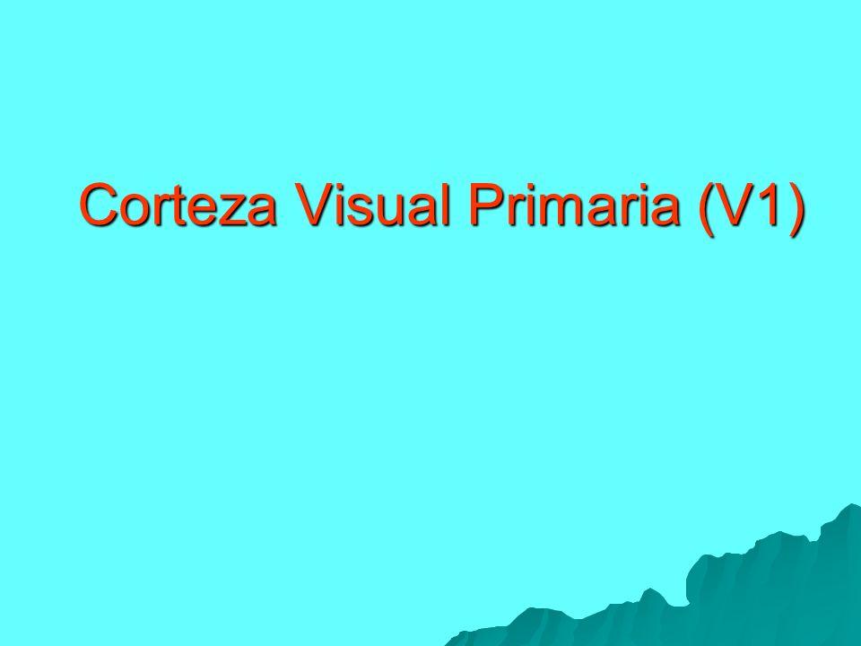 Corteza Visual Primaria (V1)