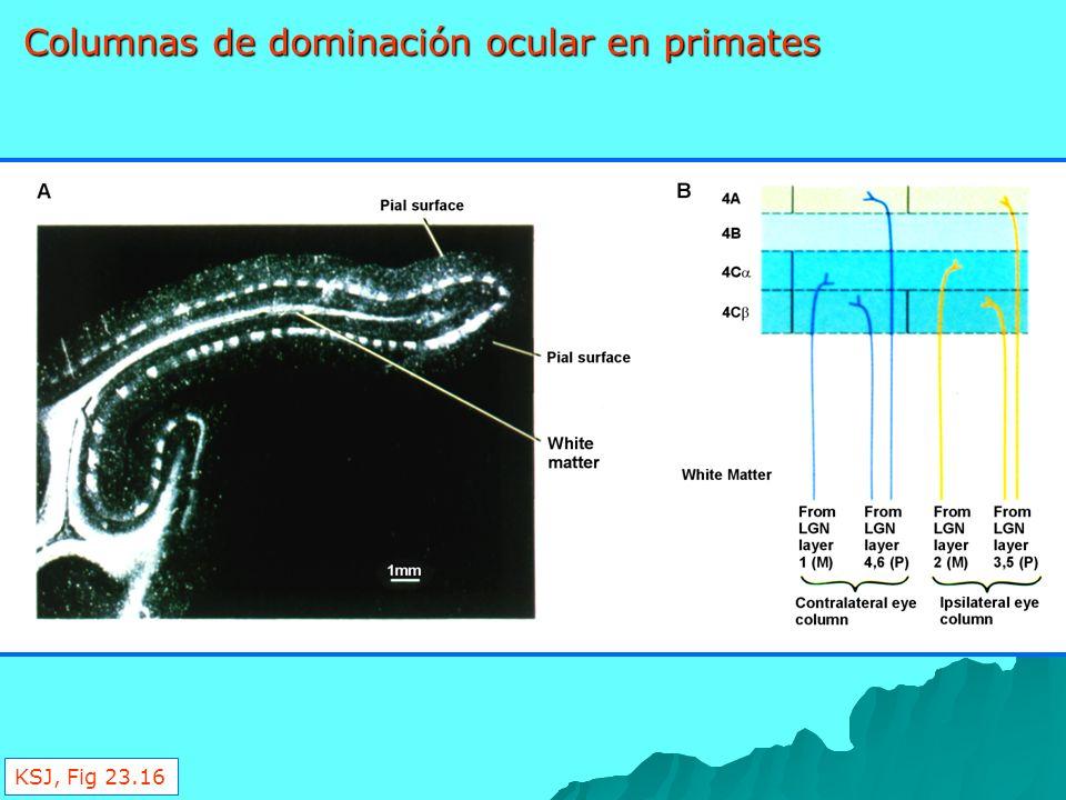 Columnas de dominación ocular en primates