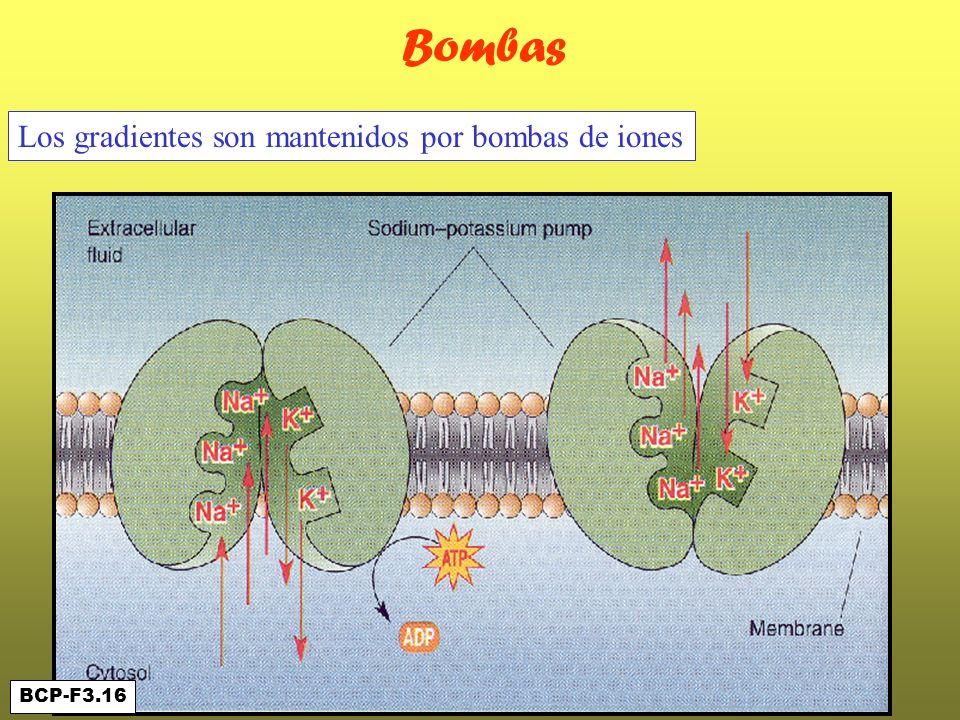Bombas Los gradientes son mantenidos por bombas de iones BCP-F3.16