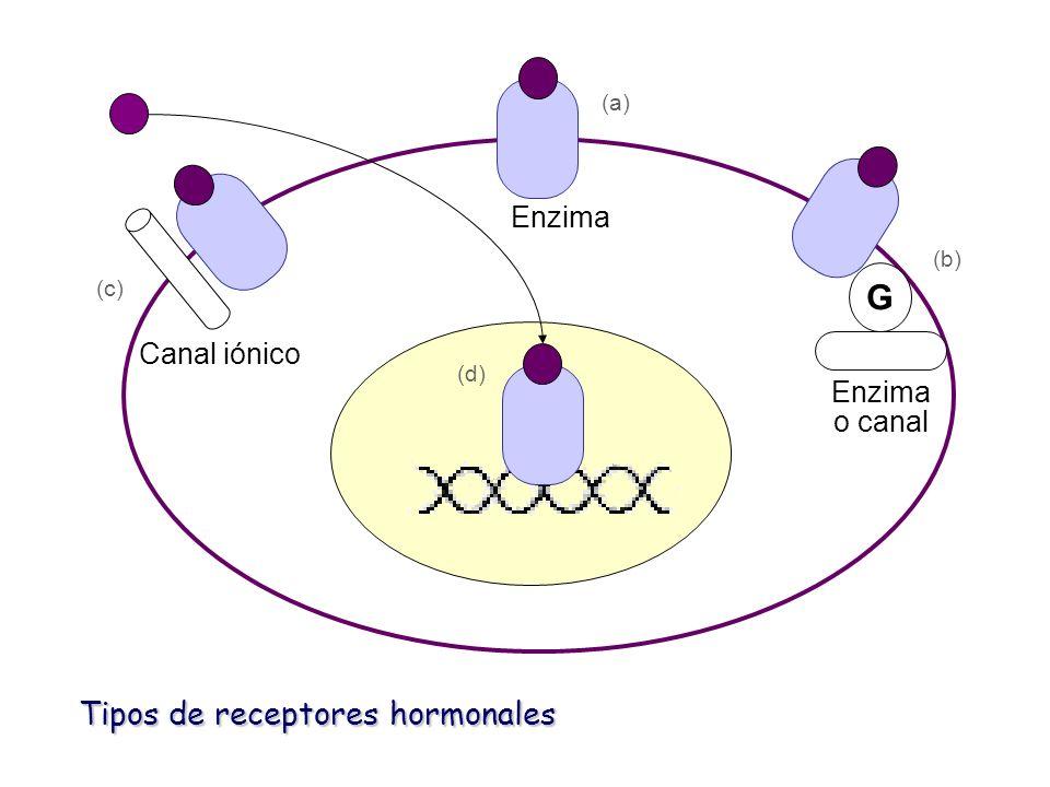 G Tipos de receptores hormonales Enzima Canal iónico Enzima o canal