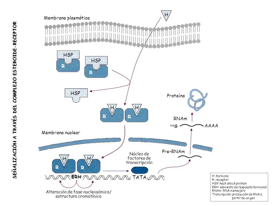 H HSP R HSP H R H R ERH TATA Membrana plasmática