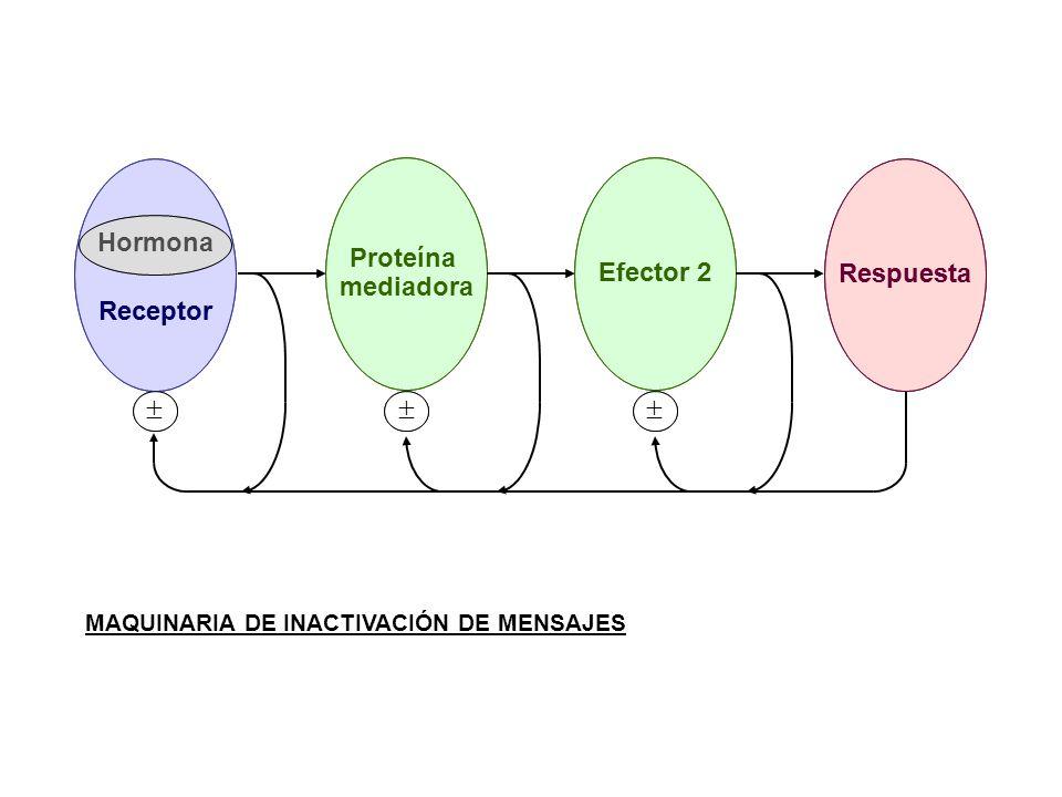     Receptor Hormona Respuesta Proteína mediadora Efector 2