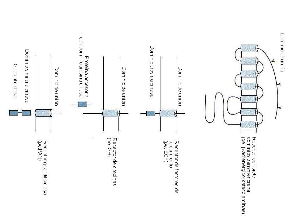 Receptor con siete dominios transmenbrana. (pe. -adrenérgico; catecolaminas) Receptor de factores de.