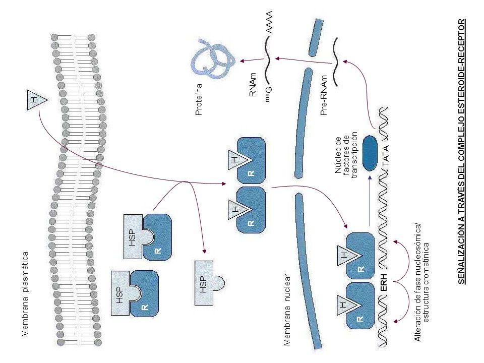 AAAA RNAm Pre-RNAm Proteína meG H TATA HSP R Membrana plasmática ERH