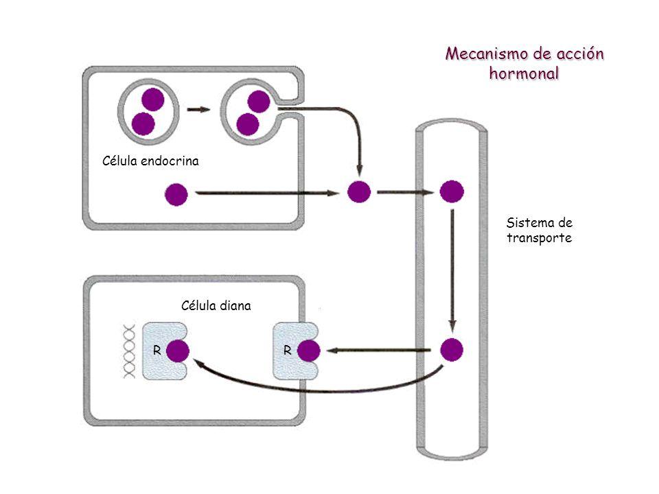 Mecanismo de acción hormonal Célula endocrina Sistema de transporte