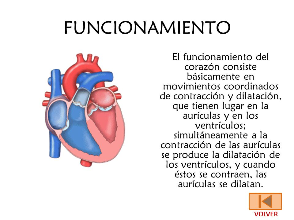 Fantástico La Función Del Corazón Inspiración - Anatomía de Las ...