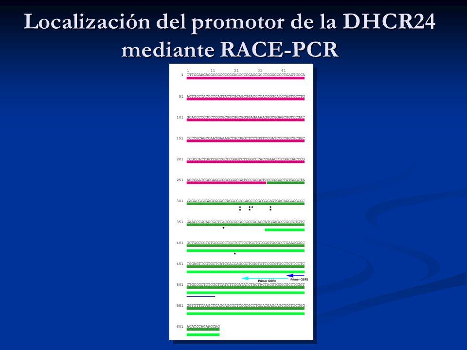 Localización del promotor de la DHCR24 mediante RACE-PCR