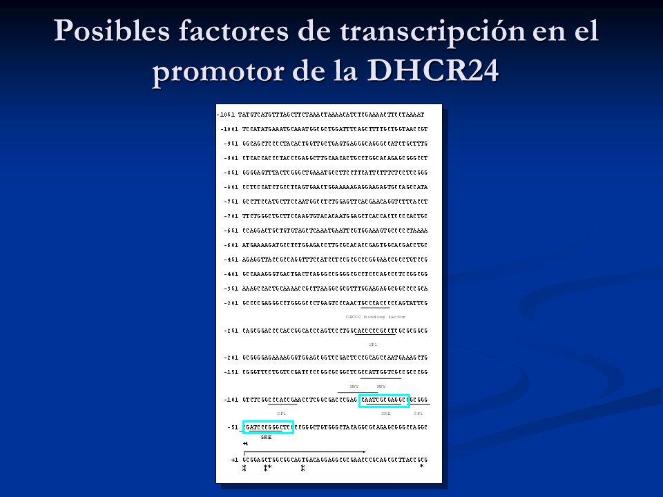 Posibles factores de transcripción en el promotor de la DHCR24