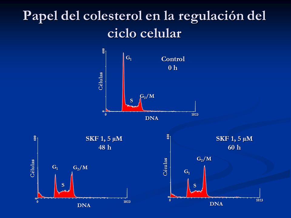 Papel del colesterol en la regulación del ciclo celular