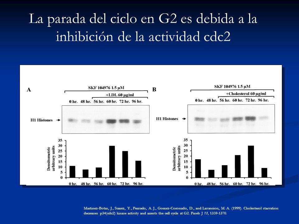 La parada del ciclo en G2 es debida a la inhibición de la actividad cdc2