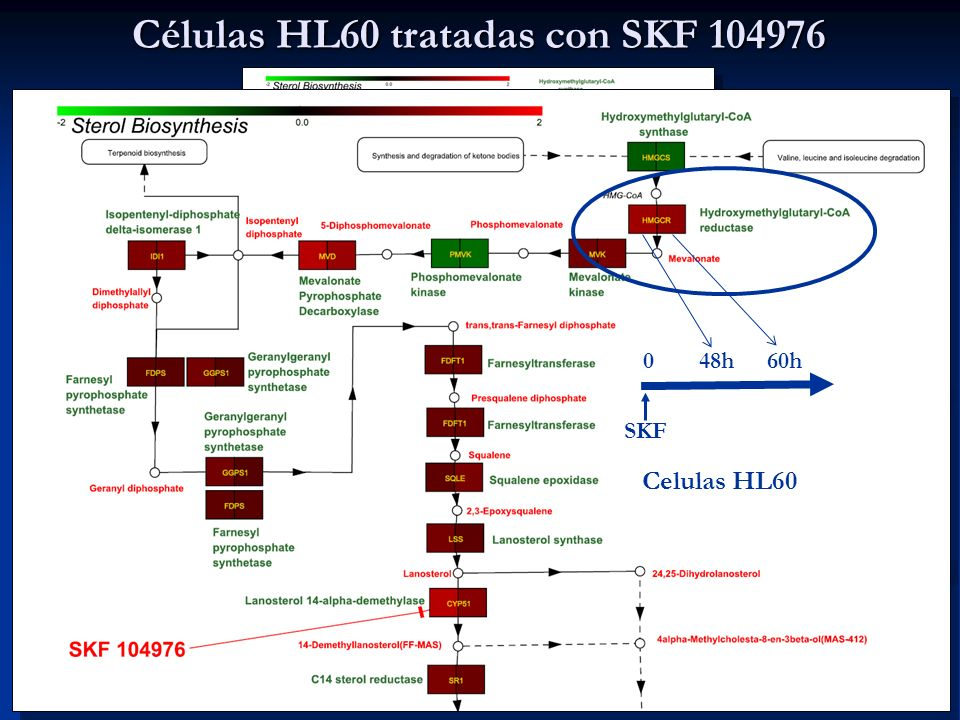 Células HL60 tratadas con SKF 104976
