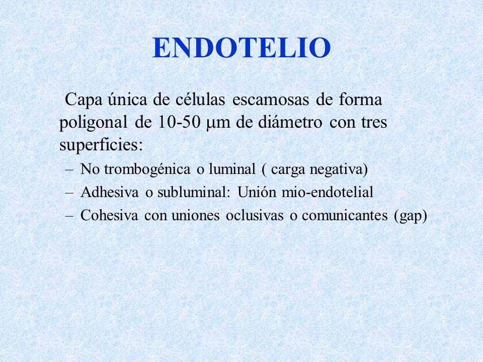 ENDOTELIO Capa única de células escamosas de forma poligonal de 10-50 m de diámetro con tres superficies: