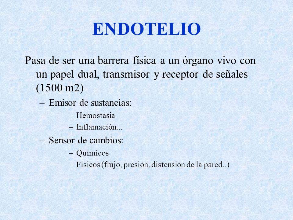ENDOTELIOPasa de ser una barrera física a un órgano vivo con un papel dual, transmisor y receptor de señales (1500 m2)