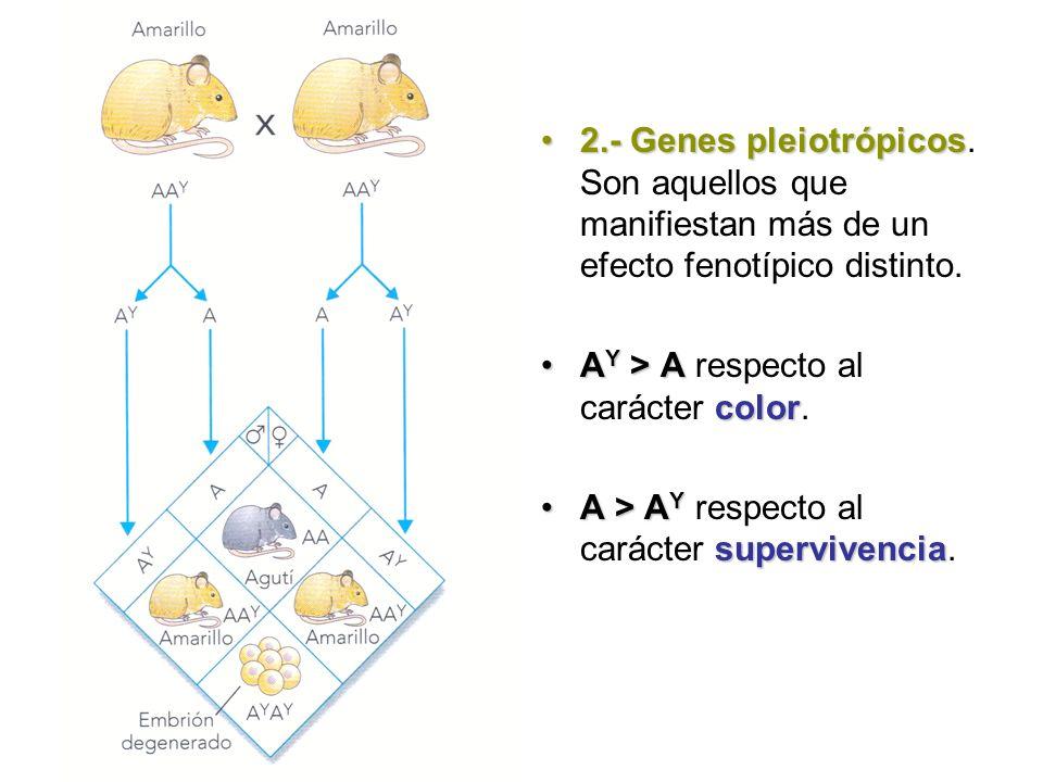 2.- Genes pleiotrópicos. Son aquellos que manifiestan más de un efecto fenotípico distinto.