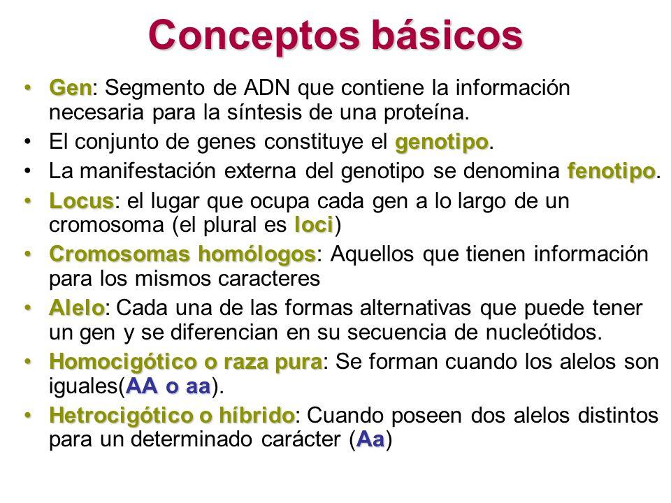 Conceptos básicos Gen: Segmento de ADN que contiene la información necesaria para la síntesis de una proteína.