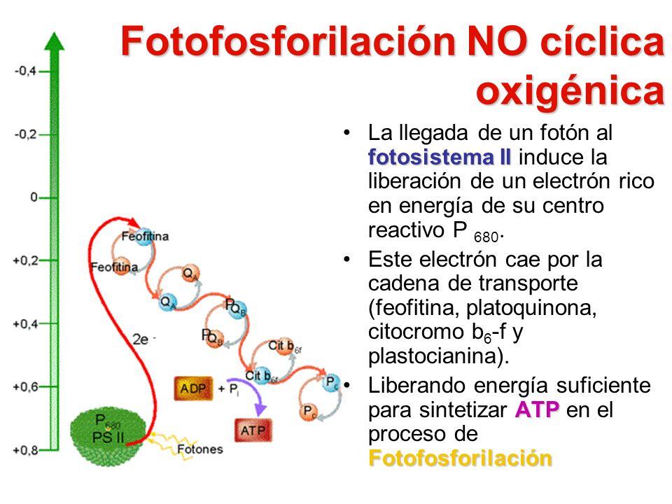 Fotofosforilación NO cíclica oxigénica
