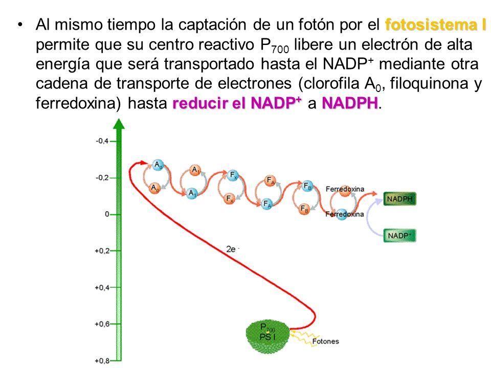 Al mismo tiempo la captación de un fotón por el fotosistema I permite que su centro reactivo P700 libere un electrón de alta energía que será transportado hasta el NADP+ mediante otra cadena de transporte de electrones (clorofila A0, filoquinona y ferredoxina) hasta reducir el NADP+ a NADPH.