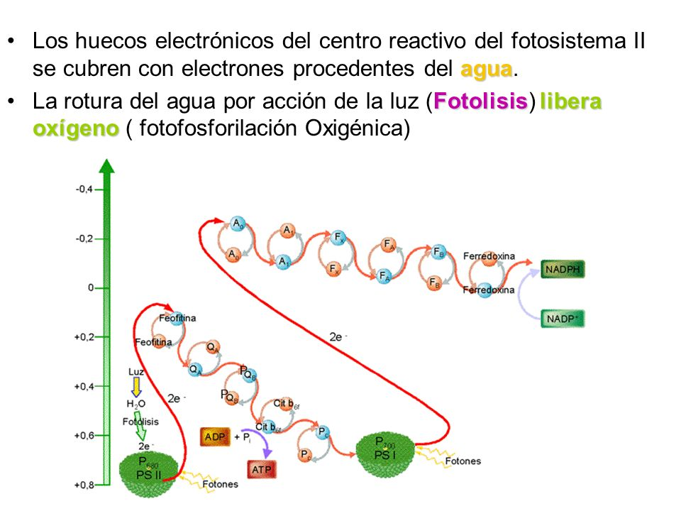 Los huecos electrónicos del centro reactivo del fotosistema II se cubren con electrones procedentes del agua.