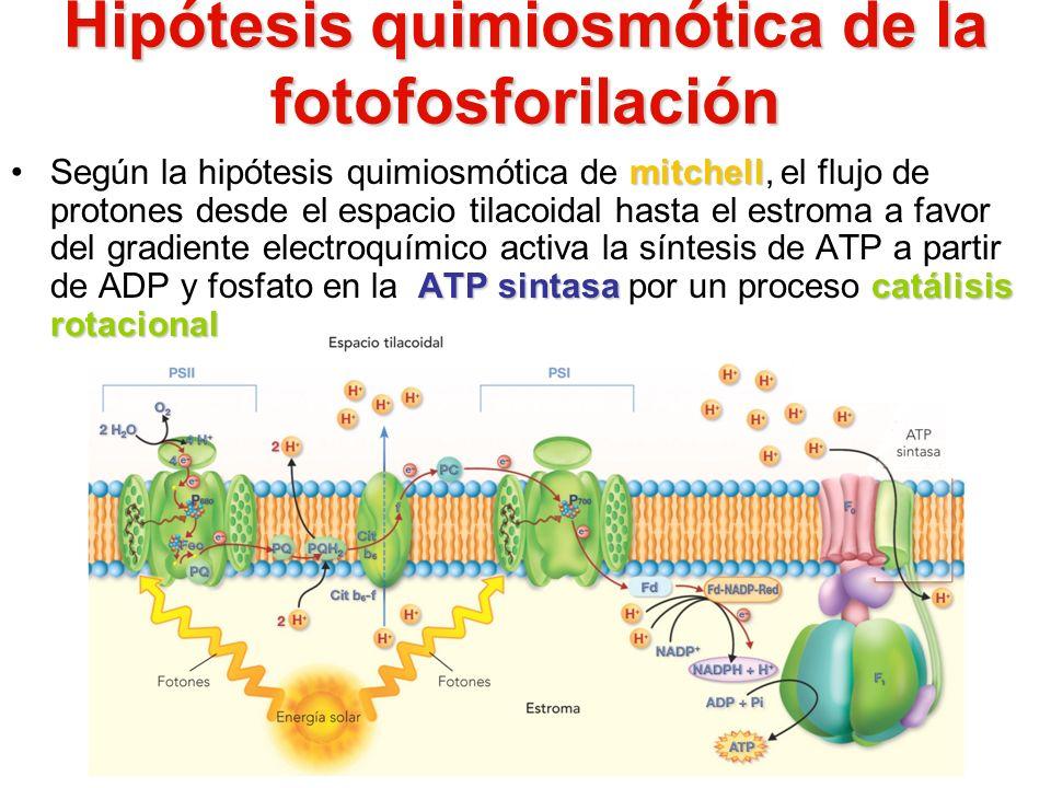Hipótesis quimiosmótica de la fotofosforilación