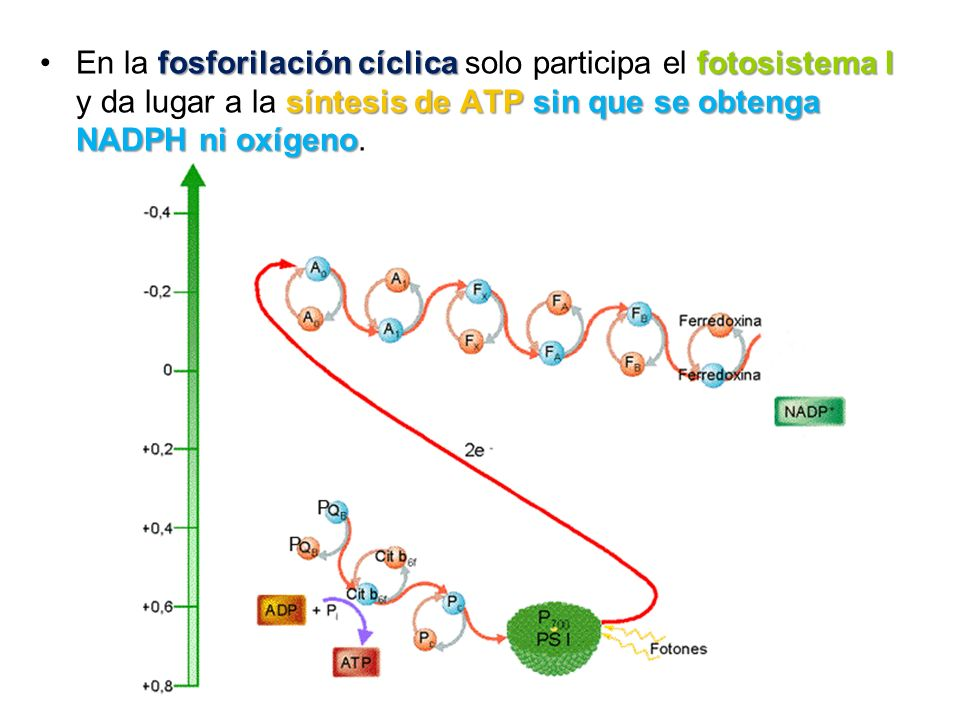 En la fosforilación cíclica solo participa el fotosistema I y da lugar a la síntesis de ATP sin que se obtenga NADPH ni oxígeno.