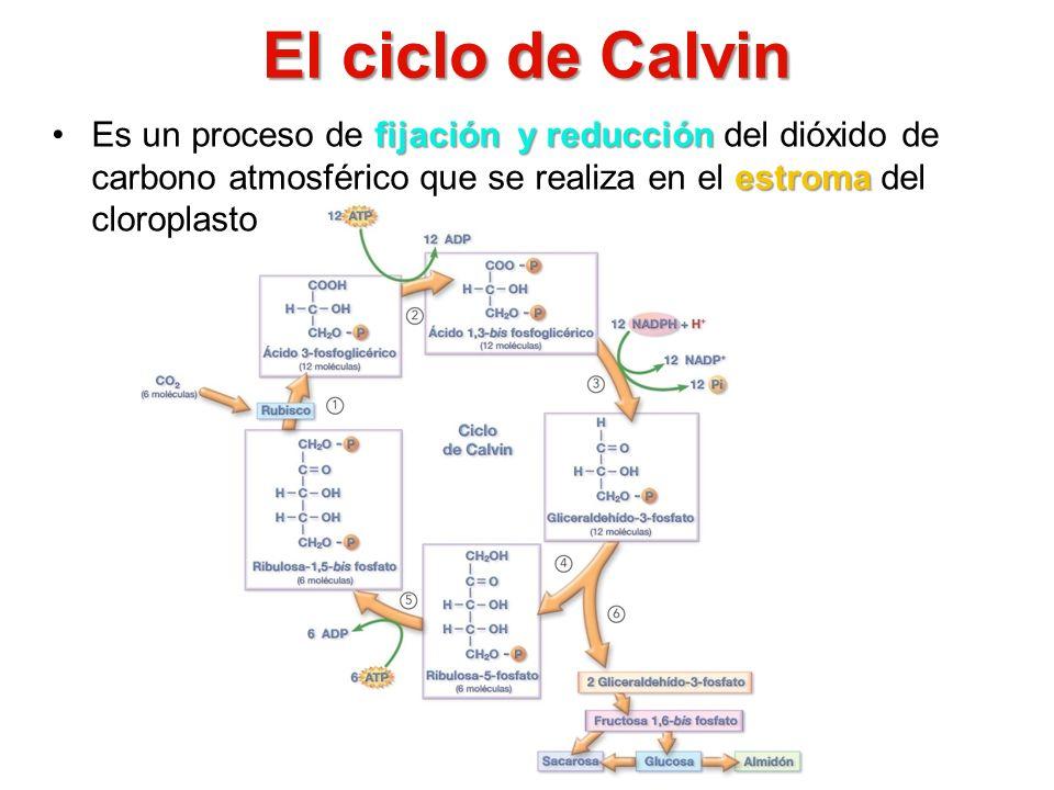 El ciclo de Calvin Es un proceso de fijación y reducción del dióxido de carbono atmosférico que se realiza en el estroma del cloroplasto.