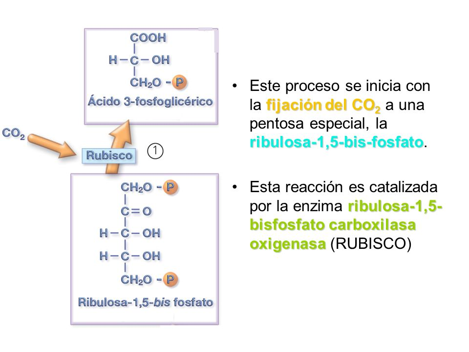 Este proceso se inicia con la fijación del CO2 a una pentosa especial, la ribulosa-1,5-bis-fosfato.