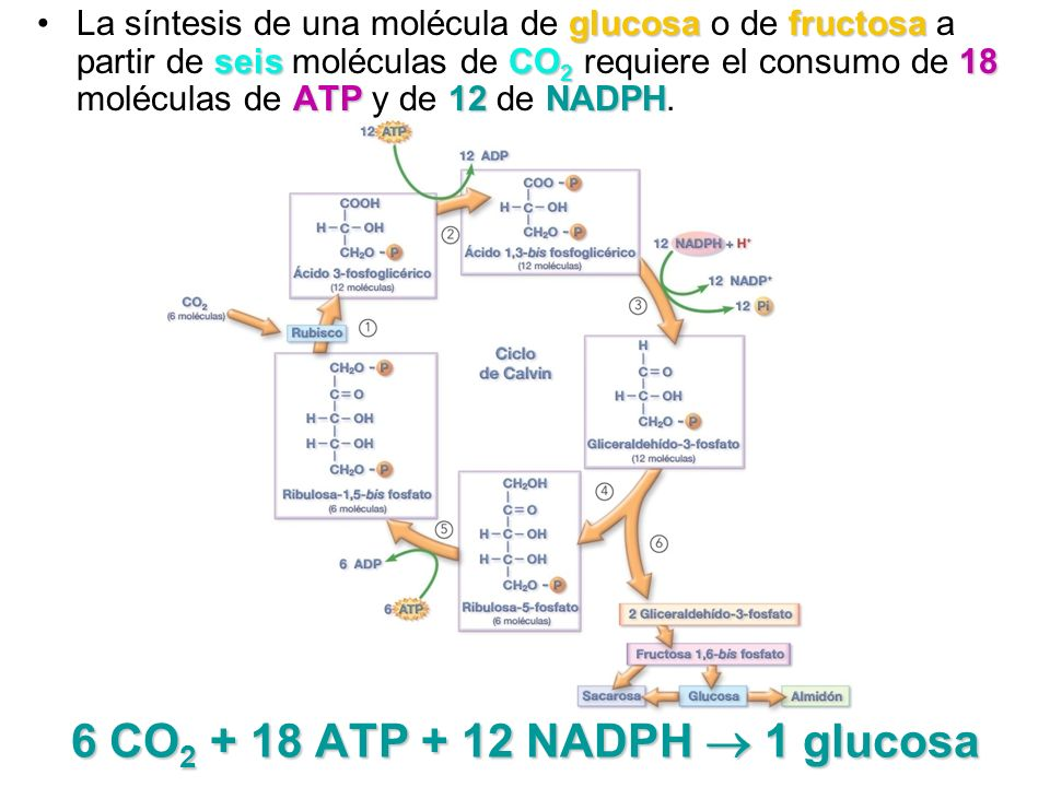 6 CO2 + 18 ATP + 12 NADPH  1 glucosa