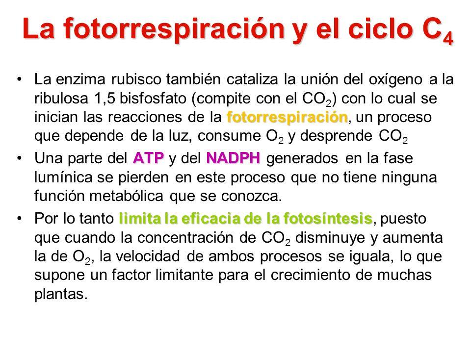 La fotorrespiración y el ciclo C4