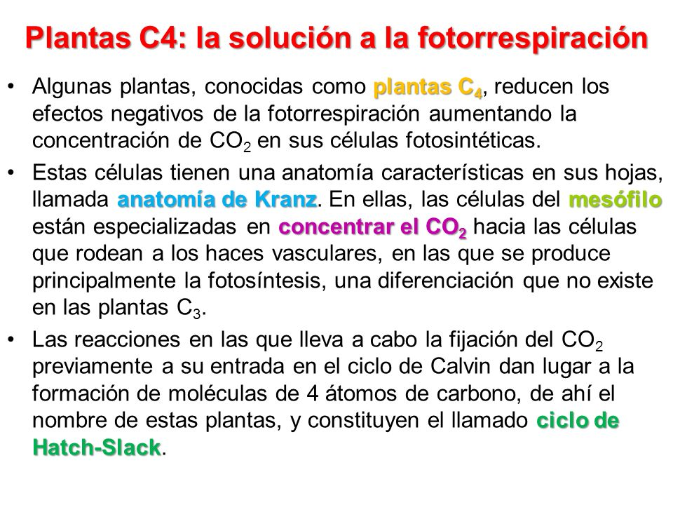 Plantas C4: la solución a la fotorrespiración