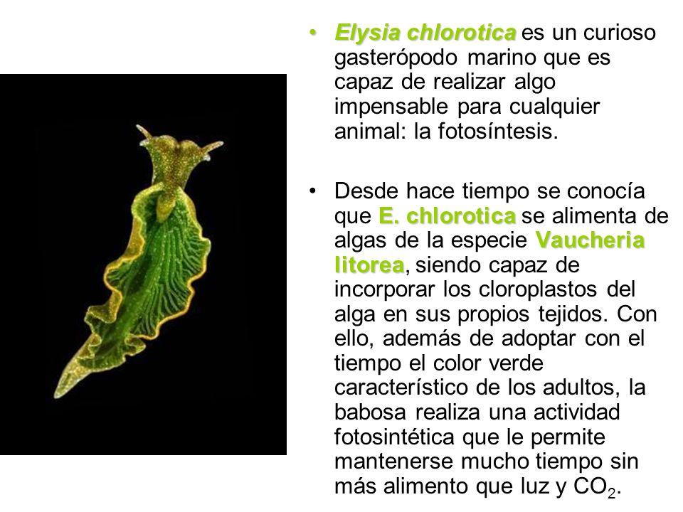 Elysia chlorotica es un curioso gasterópodo marino que es capaz de realizar algo impensable para cualquier animal: la fotosíntesis.