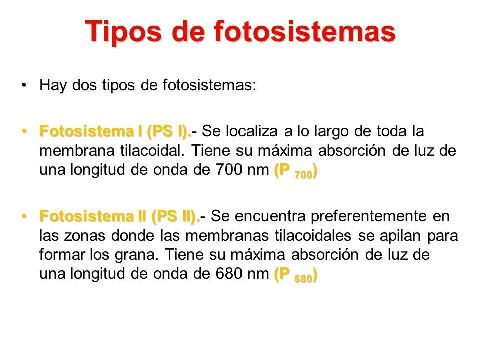 Tipos de fotosistemas Hay dos tipos de fotosistemas: