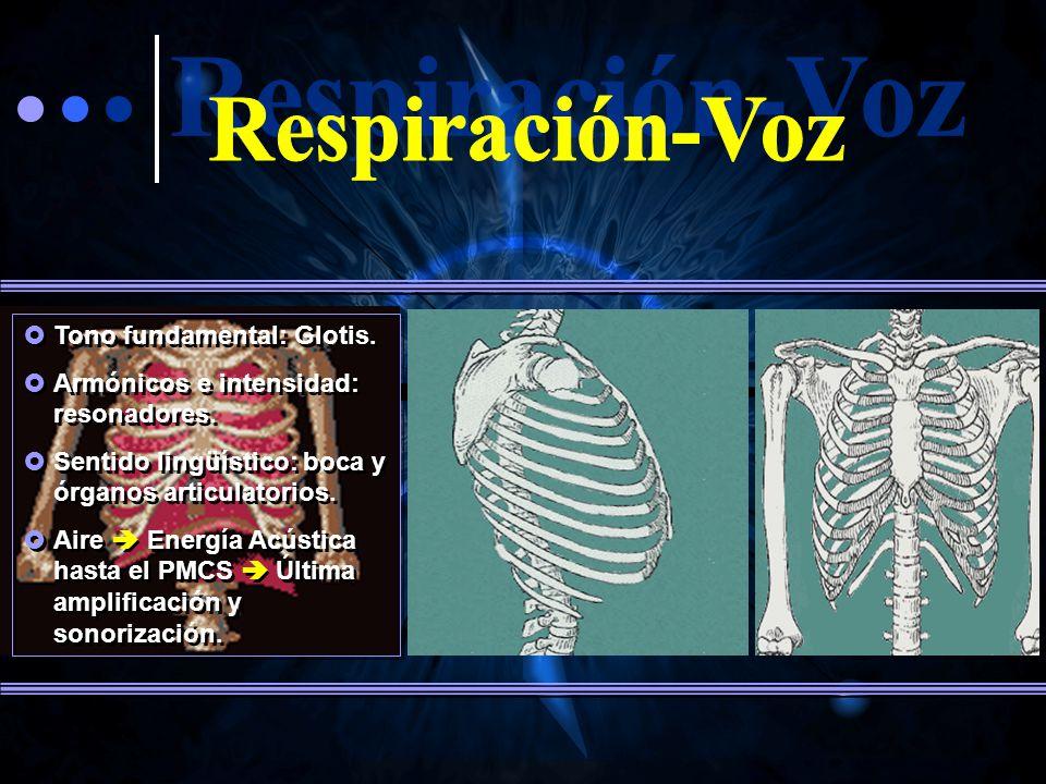 Respiración-Voz Tono fundamental: Glotis.
