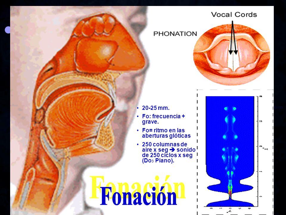 Fonación 20-25 mm. Fo: frecuencia + grave.