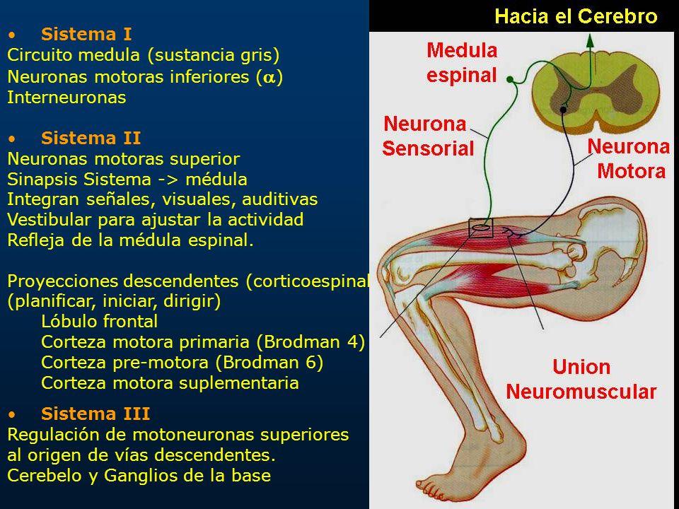Increíble Neuronas De La Médula Friso - Imágenes de Anatomía Humana ...