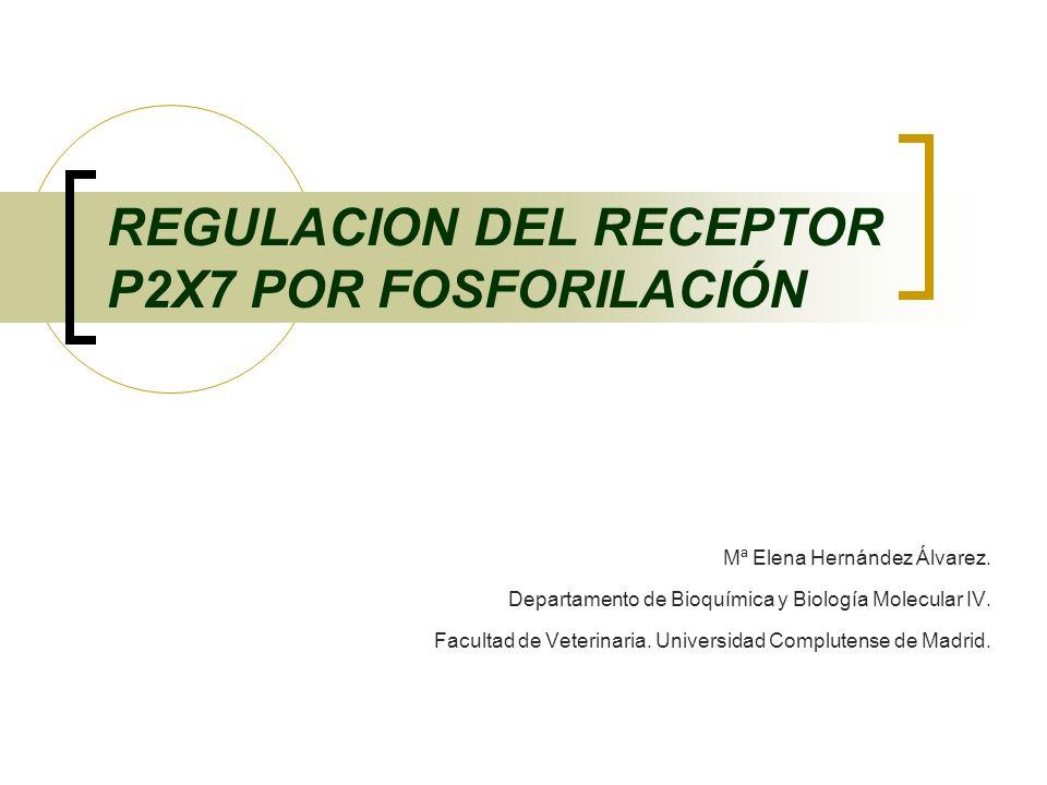 REGULACION DEL RECEPTOR P2X7 POR FOSFORILACIÓN