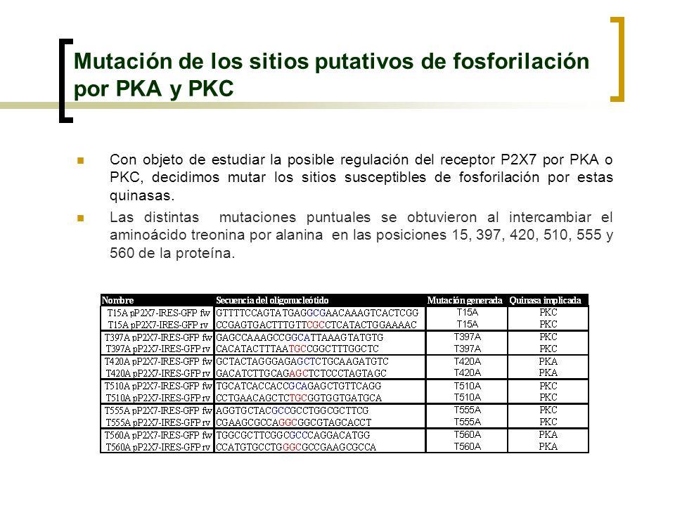 Mutación de los sitios putativos de fosforilación por PKA y PKC