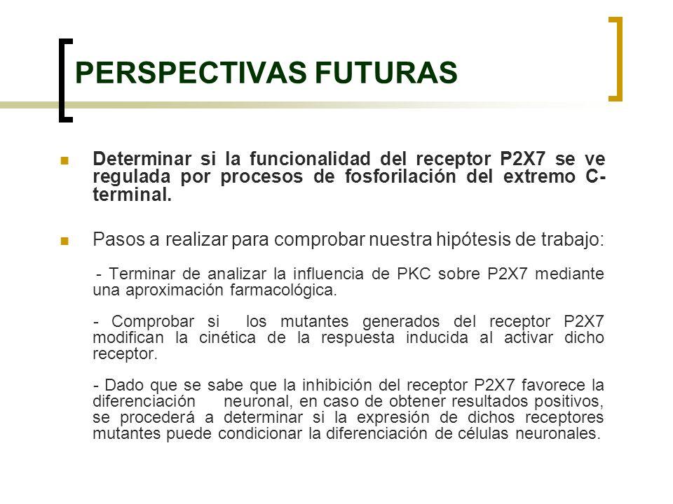 PERSPECTIVAS FUTURAS Determinar si la funcionalidad del receptor P2X7 se ve regulada por procesos de fosforilación del extremo C-terminal.