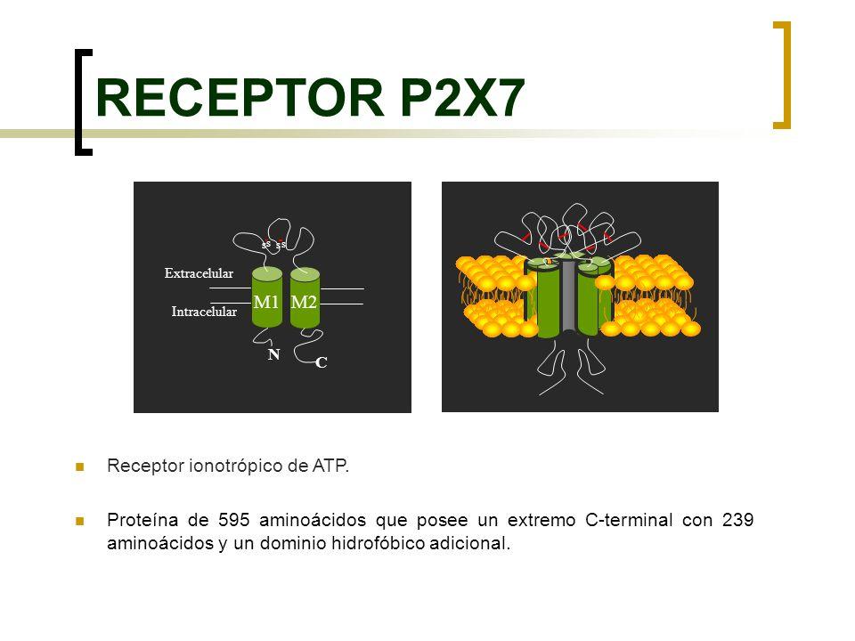 RECEPTOR P2X7 M1 M2 Receptor ionotrópico de ATP.