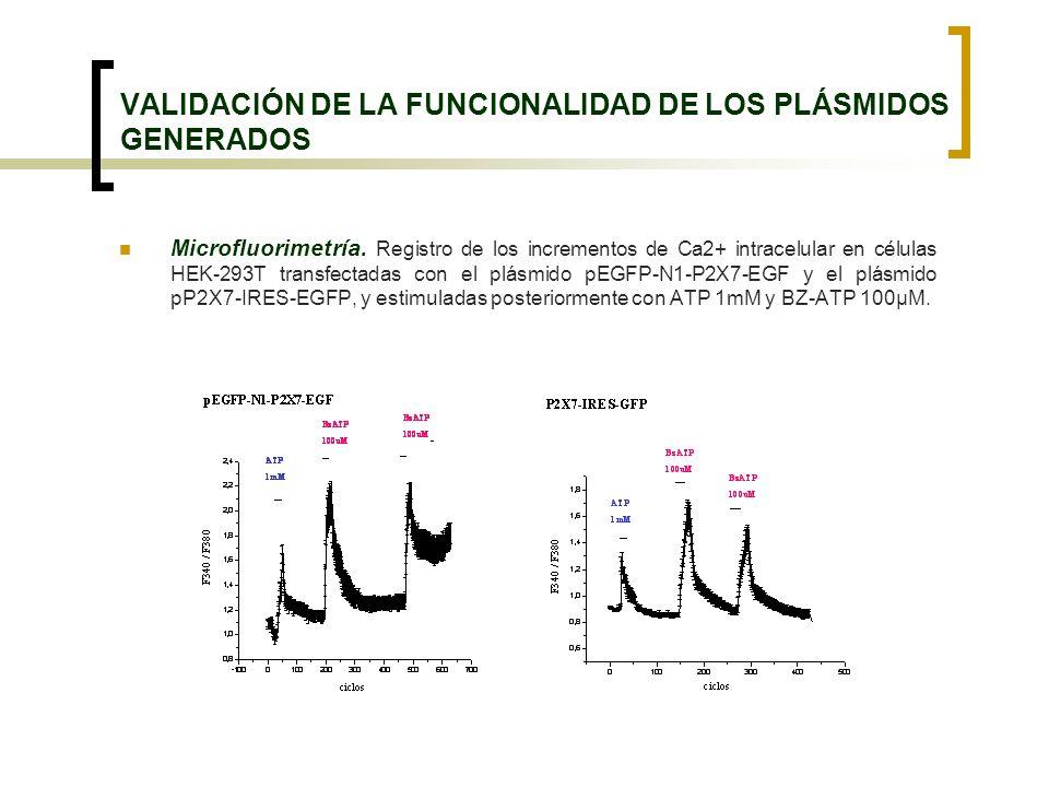 VALIDACIÓN DE LA FUNCIONALIDAD DE LOS PLÁSMIDOS GENERADOS