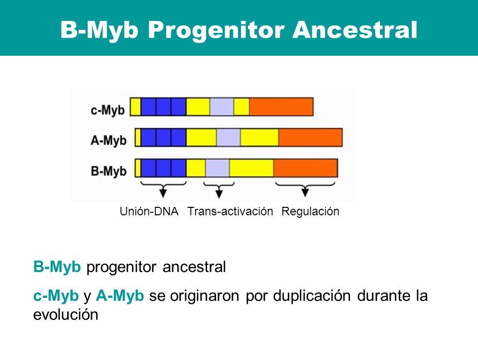 B-Myb Progenitor Ancestral