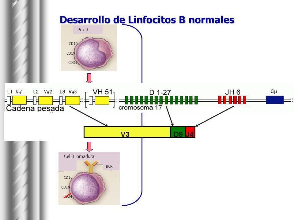 Desarrollo de Linfocitos B normales