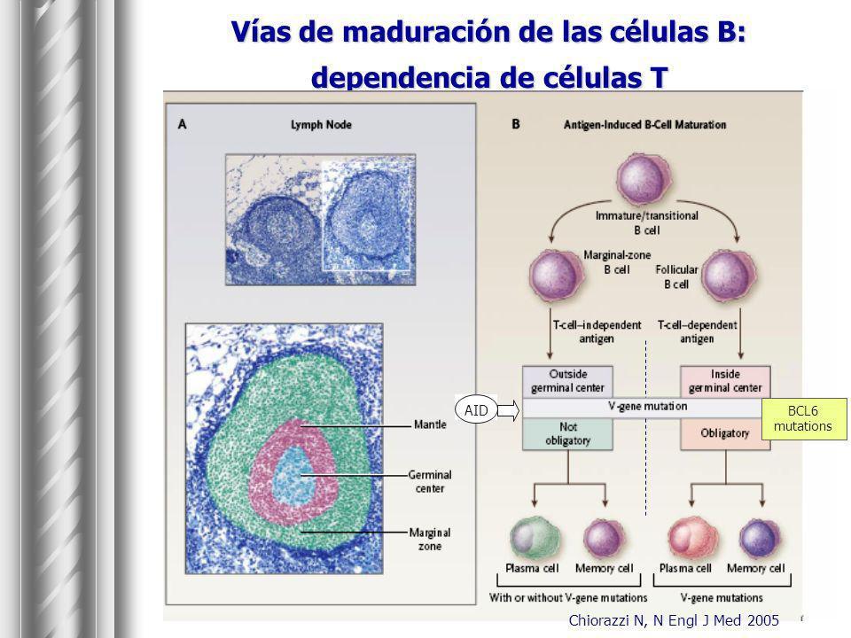 Vías de maduración de las células B: dependencia de células T