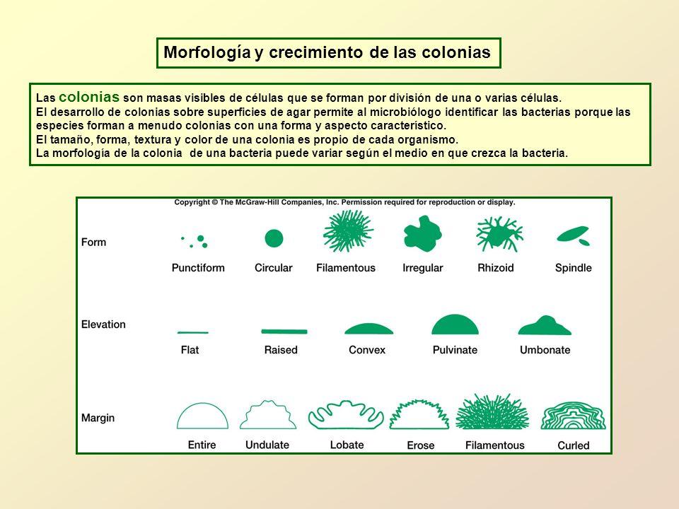 Morfología y crecimiento de las colonias