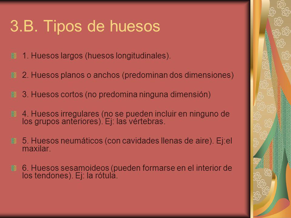 3.B. Tipos de huesos 1. Huesos largos (huesos longitudinales).