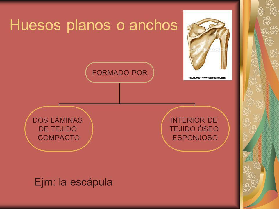 Huesos planos o anchos Ejm: la escápula