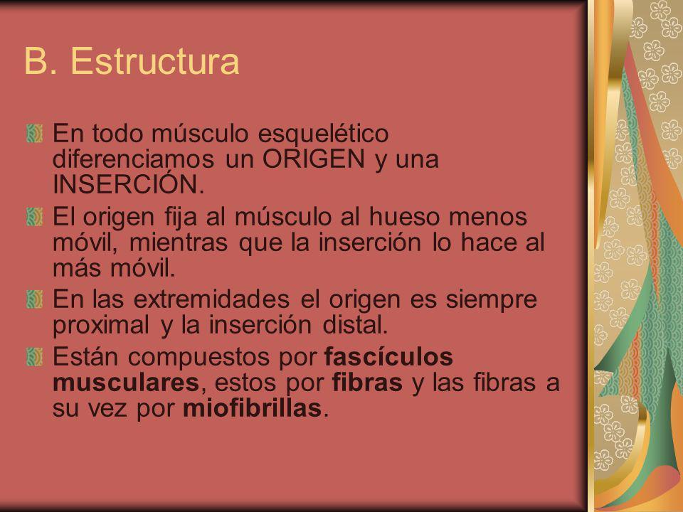 B. Estructura En todo músculo esquelético diferenciamos un ORIGEN y una INSERCIÓN.