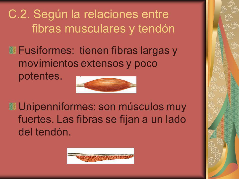 C.2. Según la relaciones entre fibras musculares y tendón