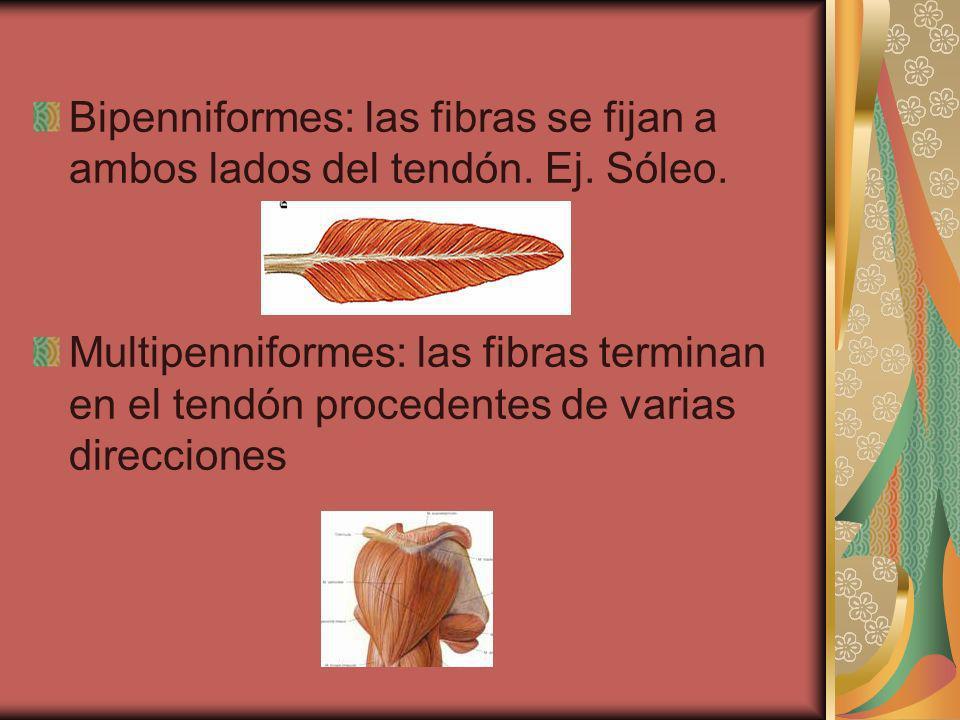 Bipenniformes: las fibras se fijan a ambos lados del tendón. Ej. Sóleo.