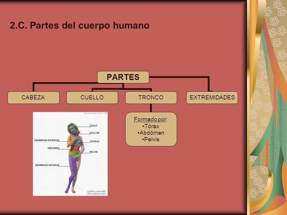 2.C. Partes del cuerpo humano